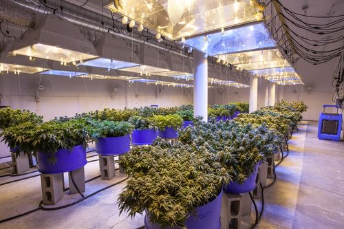 cannabis cultivation in new york