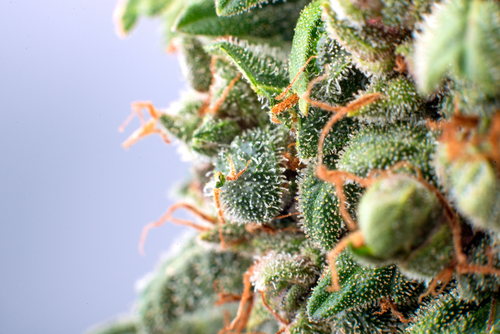 Close up image of cannabis bud in New York